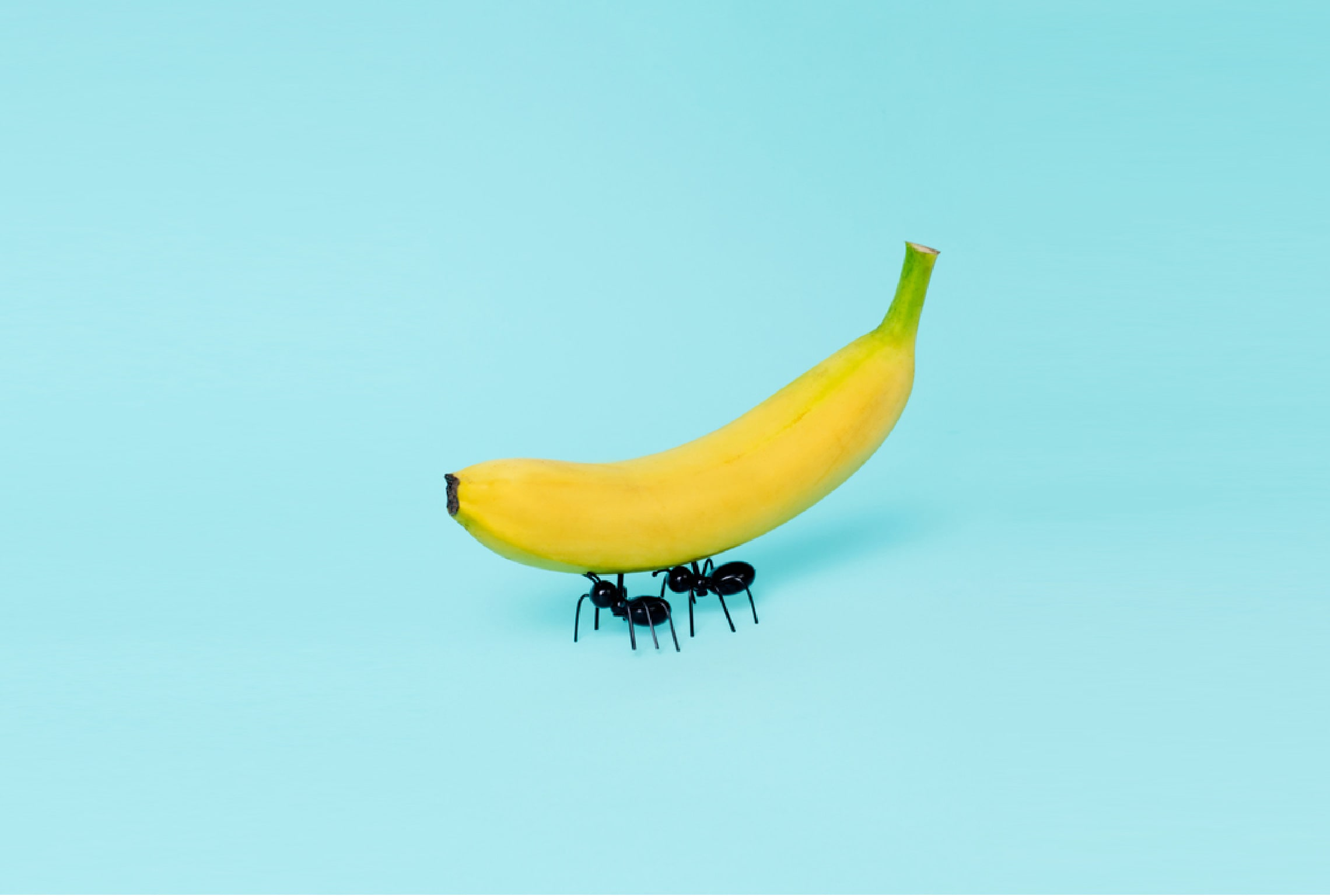 Ants collaborating to carry a banana